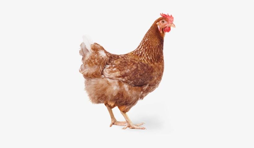 Chicken - Chicken Caesar Salad Meme, transparent png #2528284