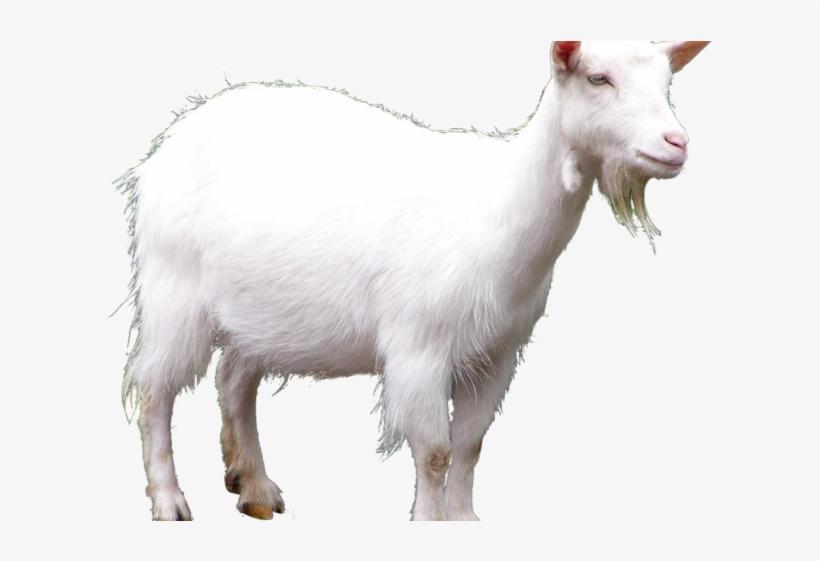 Goat Png Transparent Images - Toriel X Asgore Undertail