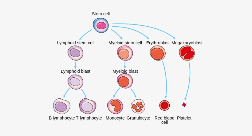Tremendous Diagram Showing How White Blood Cells Are Made White Blood Cell Wiring Database Liteviha4X4Andersnl