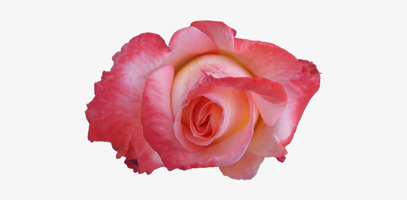 Beautiful Nature Images Roses Wallpaper And Background Pink Rose