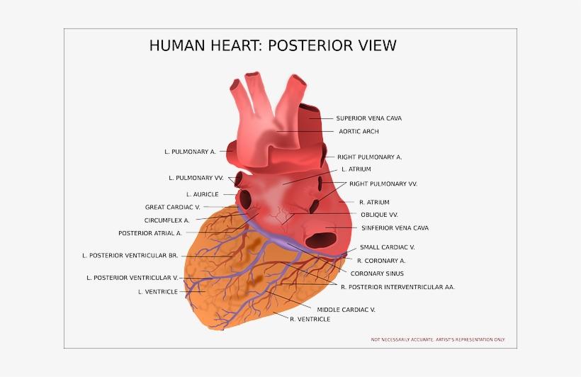 Ongebruikt Heart Facts - Anatomie Hart Latijns - Free Transparent PNG IY-06