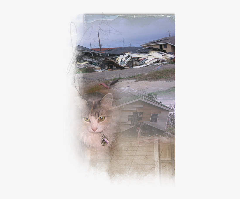 Cats Who Survived Katrina Live In The Streets, On Their - Domestic Short-haired Cat, transparent png #265578