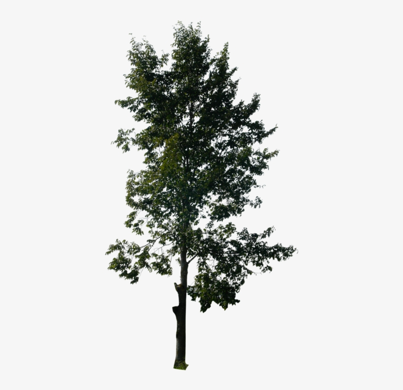 Tall Pine Tree Png Vector Freeuse - Photoshop Trees - Free