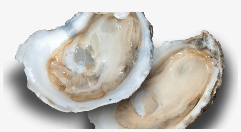 Oyster, transparent png #2645815