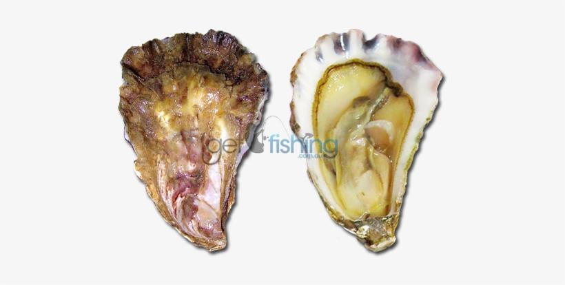 Sydney Rock Oyster - Oyster Saccostrea, transparent png #2645859