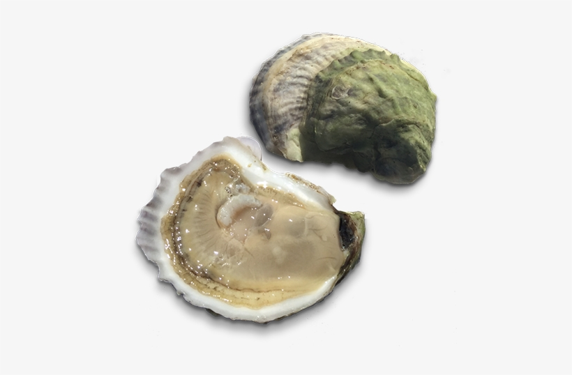 Retail From The Shop - Oysters Transparent Background, transparent png #2646085