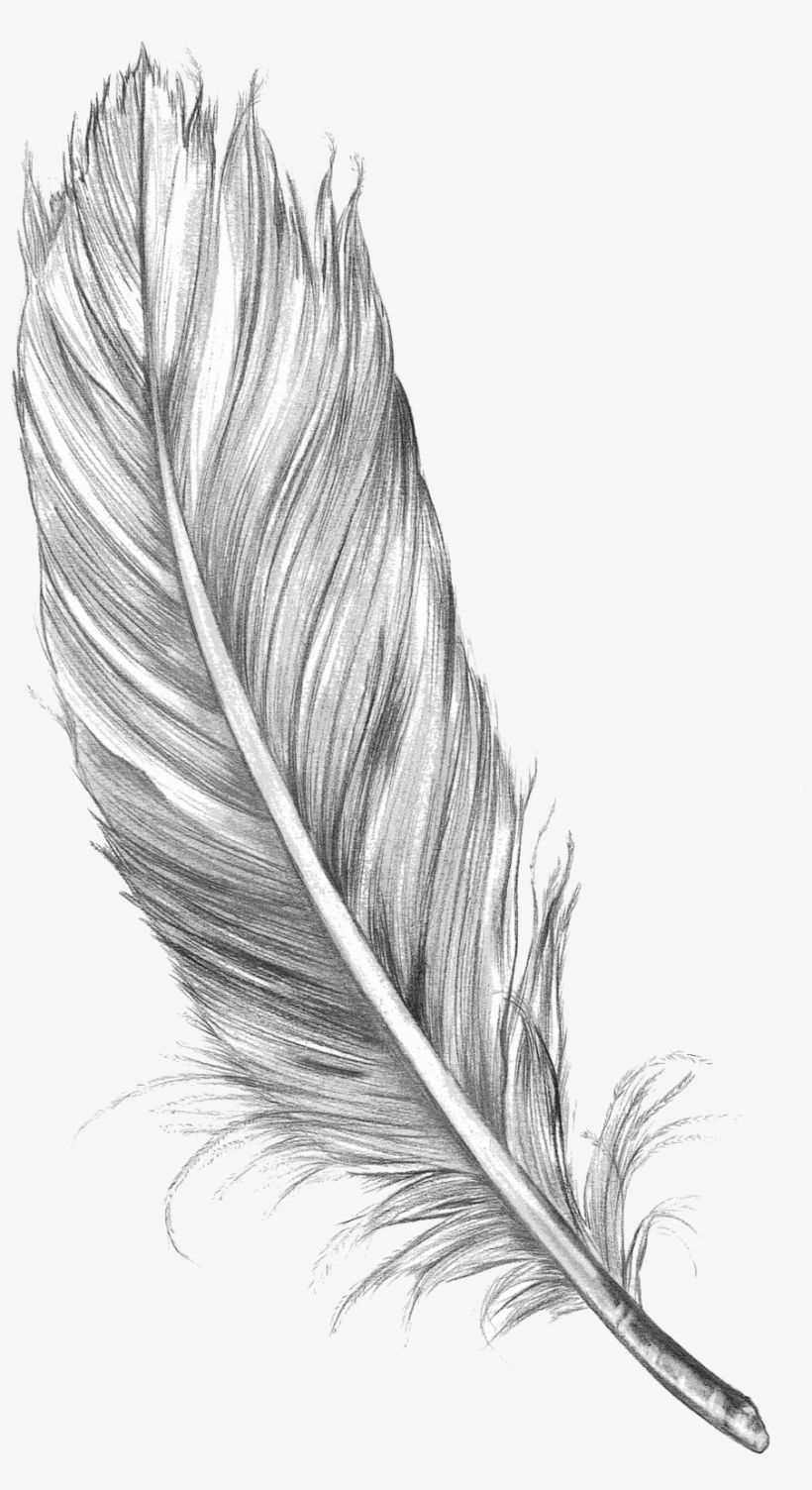 15 Feather Drawing Png For Free Download On Mbtskoudsalg Pluma
