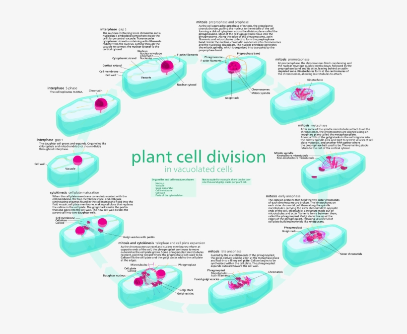 Plant Vs Animal Cell Division - Cell Cycle Diagram With ...