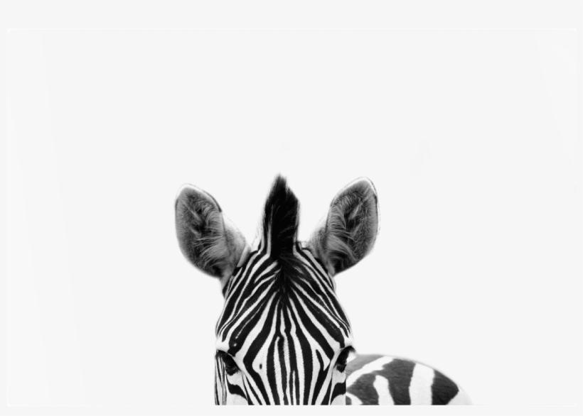 The Zebra Print - Design House Framed Wall Art Zebra 40cm X 60cm, transparent png #2789503