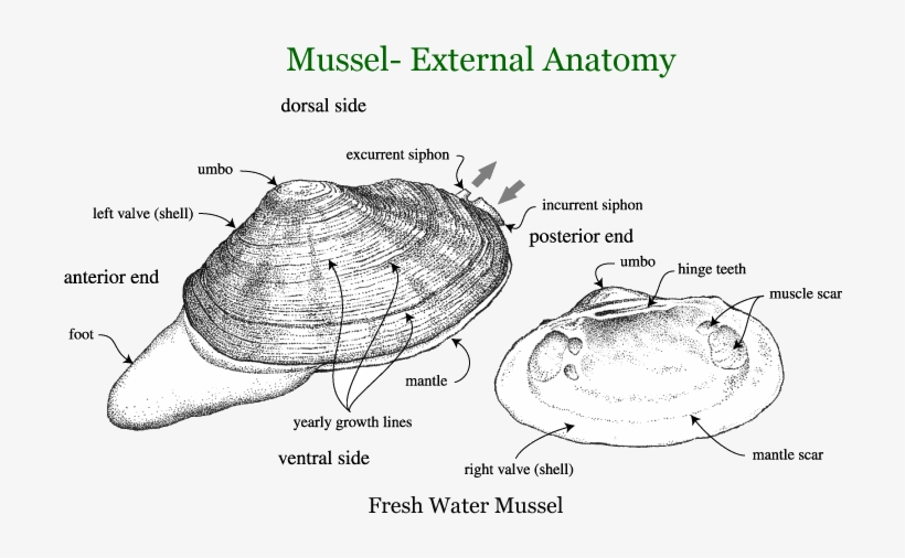 Mussels And Clams External Anatomy Of Mussels Free Transparent