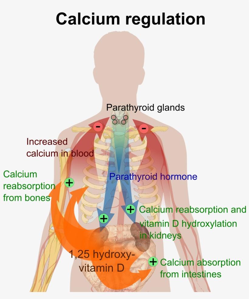 This Illustrates Calcium Regulation In Our Bodies - Happens If You Have Too Much Calcium, transparent png #2802546