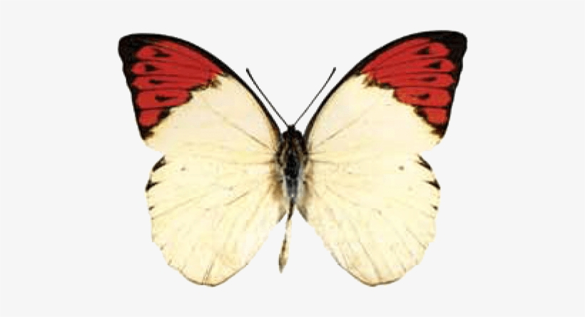 3180ad785 Butterfly House At Put In Bay - Orange Tip Butterfly Transparent ...