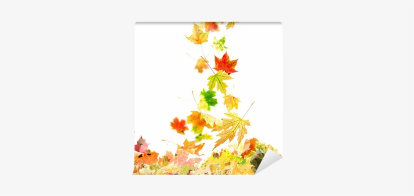 Colorful Autumn Leaves Falling To The Ground Wall Mural - Falling Maple Leaves, transparent png #2827321
