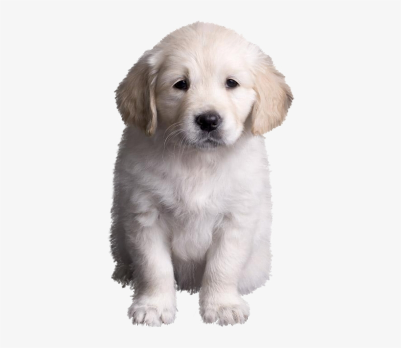 Golden Retriever Puppy Golden Retriever Valpar Golden Dog Free Transparent Png Download Pngkey