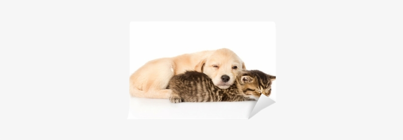 Golden Retriever Puppy Dog And British Cat Sleeping Golden