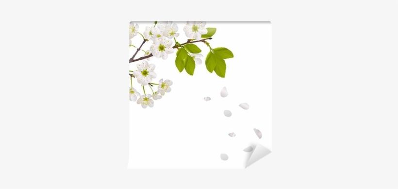 Cherry Tree Flowers And Falling Petals Wall Mural • - Petalas De Flores Caindo, transparent png #2854950