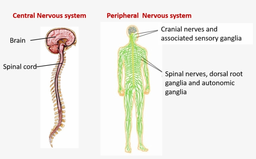 Central Nervous System Diagram Brain And Spinal Cord ...