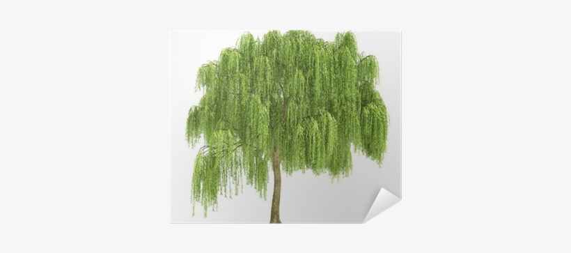 Willow Tree Cut Out, transparent png #2870169