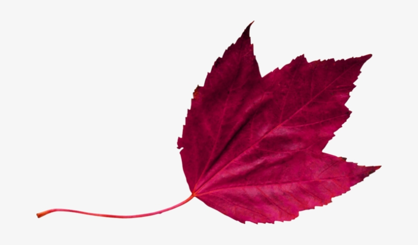 Red Leaf 2 - Maroon Leaf Png, transparent png #2881800