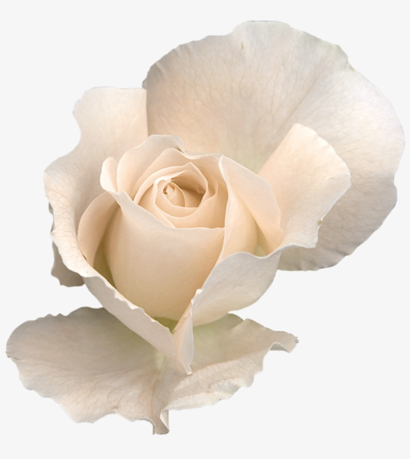 White Rose With Transparent Background, transparent png #291962