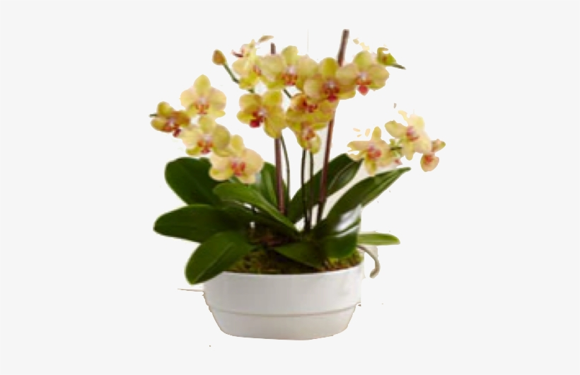 Bios - Glowing Strong Orchid Plant - Ftd Flowers Delivery, transparent png #2964416