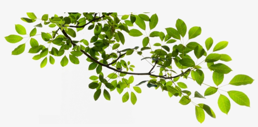 Tree Branch Transparent Png - Tree Branch Transparent Background, transparent png #30367
