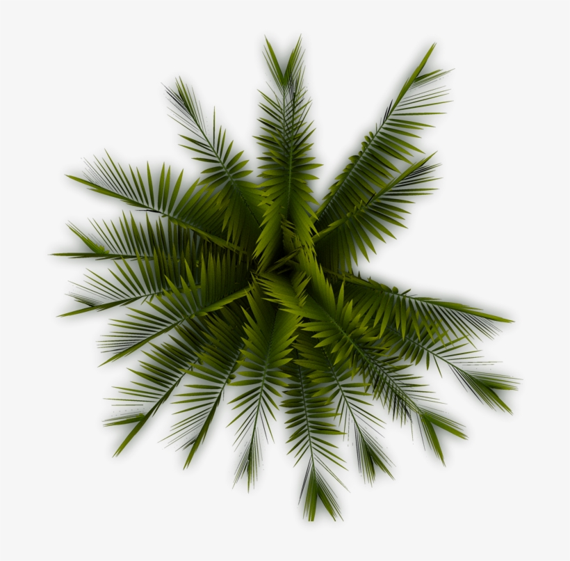 Palm - Palm Tree Top View Png, transparent png #30534