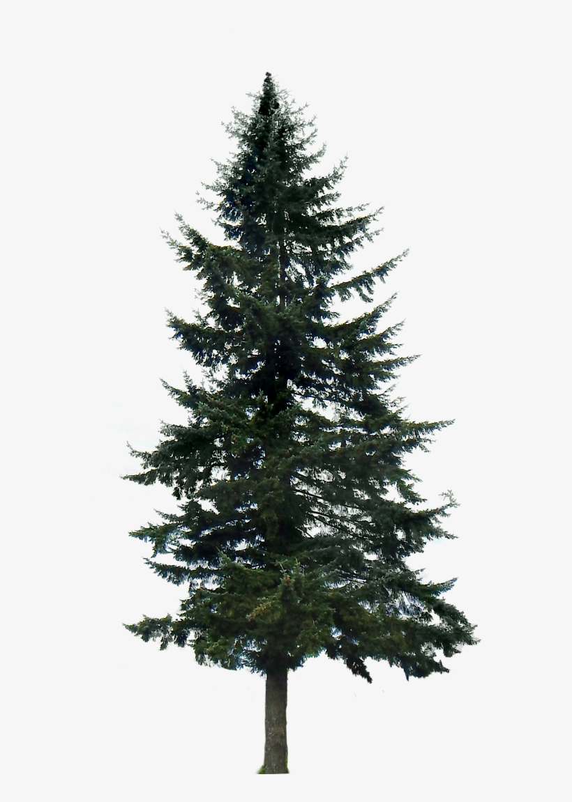 Pine Tree Png Image - Pine Trees Transparent Background, transparent png #31230