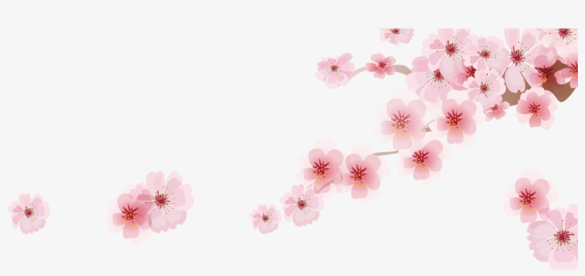 Cherry Blossom Png - Japanese Cherry Blossom Cartoon, transparent png #32697