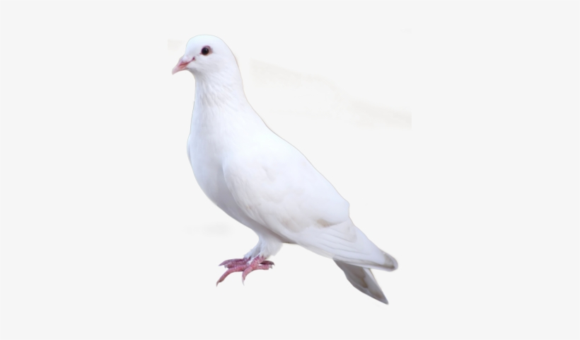 White Dove Png White Dove Standing Png Free Transparent Png Download Pngkey Try to search more transparent images related to dove png |. white dove png white dove standing