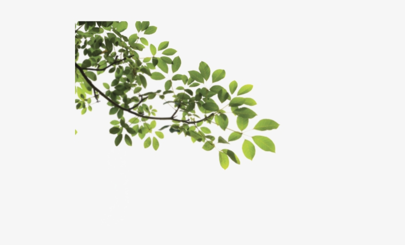 Branch Png - Tree Branch Png, transparent png #36336