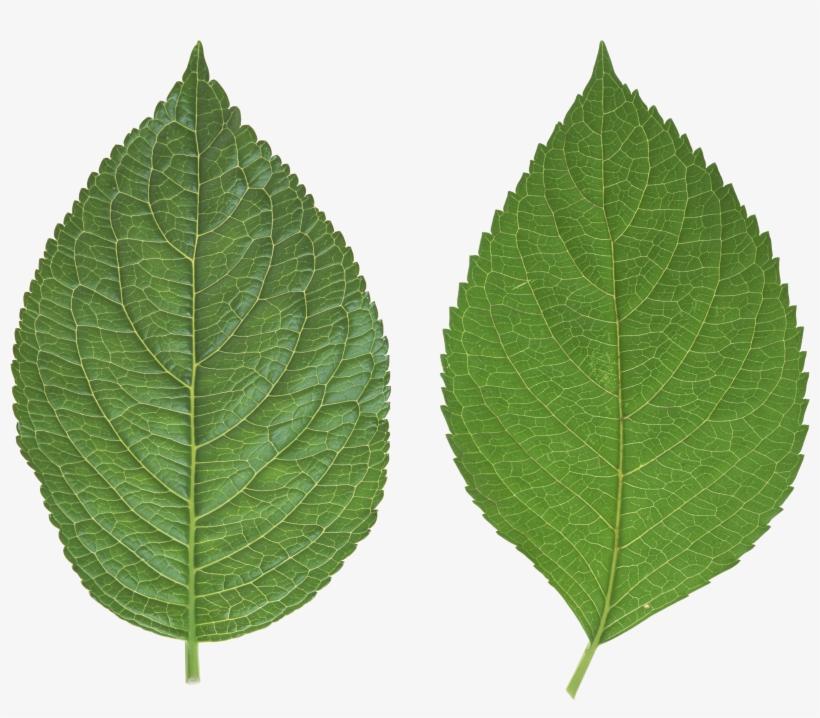 Cucumber Transparent Png Sticker - Birch Leaf Transparent Background, transparent png #37709