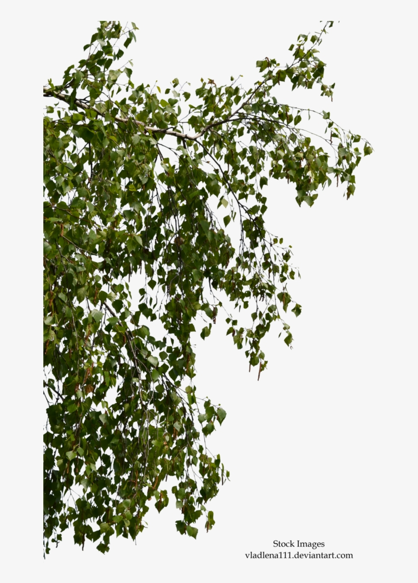 Birch Branch Png - Birch Tree Branches Png, transparent png #39214