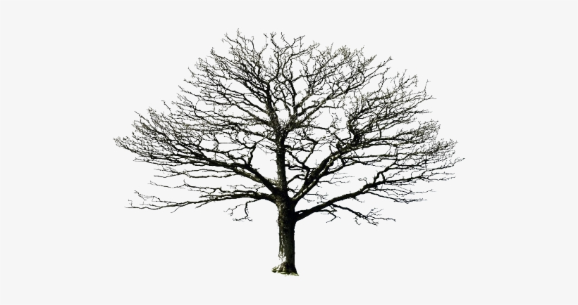 Light Was A Normal Plumie, He Was All Black And Had - White Oak Tree Silhouette, transparent png #3042575