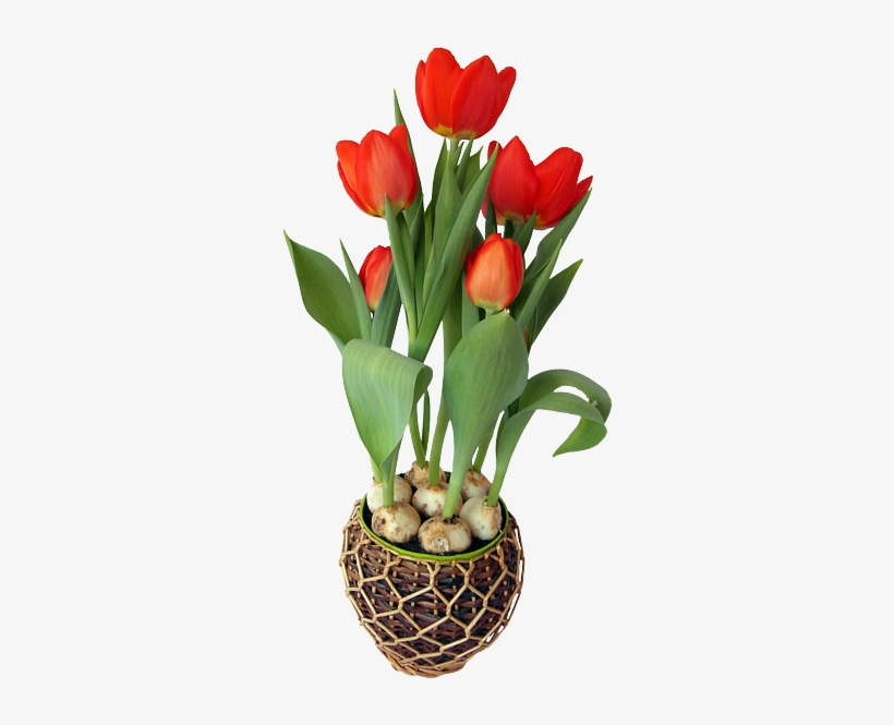 Tulip, Red, Spring, Flower, Strauss, Onions, Holland - Png Flower With Pot, transparent png #314143