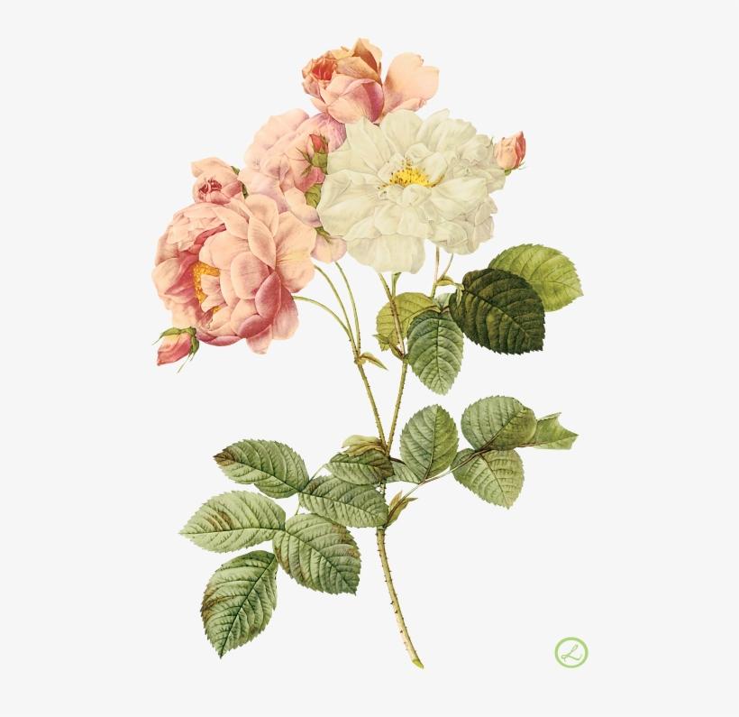Flower Illustration By Pierre-joseph Redoute - Roses Pierre Joseph, transparent png #3165193