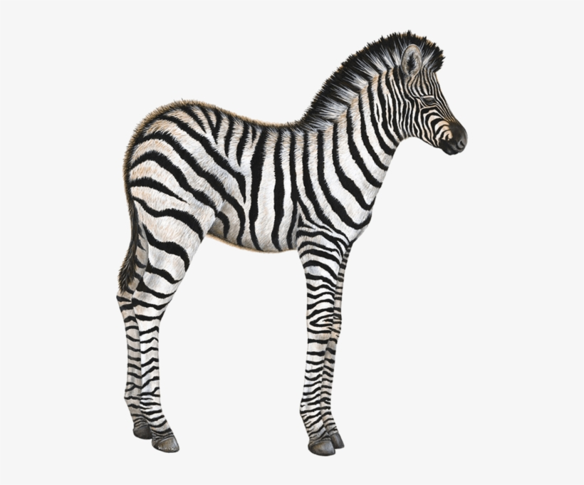 Baby Zebra Animal Wall Decal Sticker - Zebra Wall Decal, Home Decor Decals, By Walls Of The, transparent png #3180679