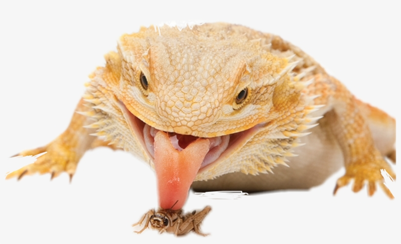 Report Abuse - Bearded Dragon Defense, transparent png #3188173