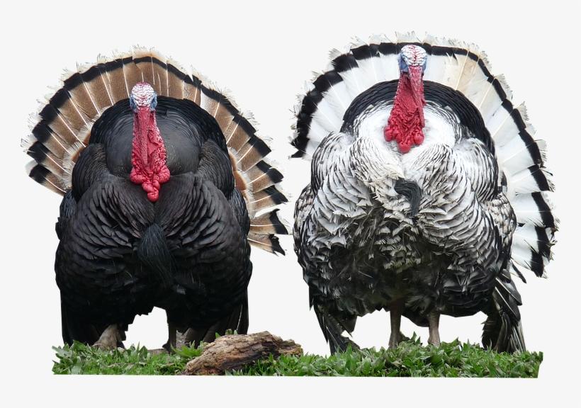 Turkeys,cut,out - Out Poster Print, transparent png #3189010