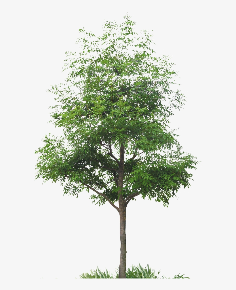 Have Discovered Japanese Culture - Cut Out Maple Tree, transparent png #3196831