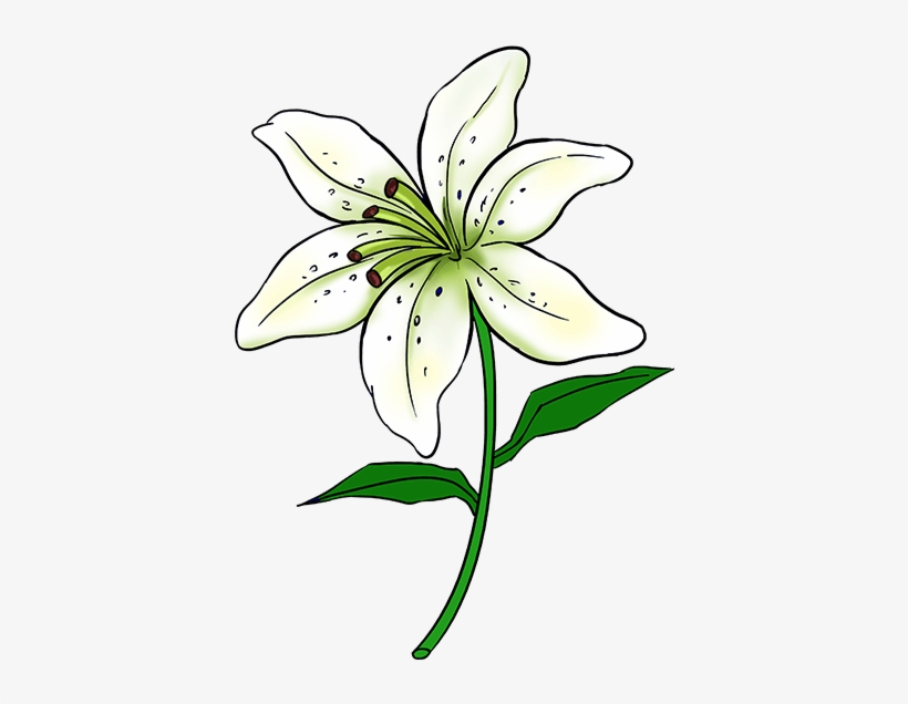 Learn To Draw A Beautiful Lily - Lily Flower Drawing Easy, transparent png #333729