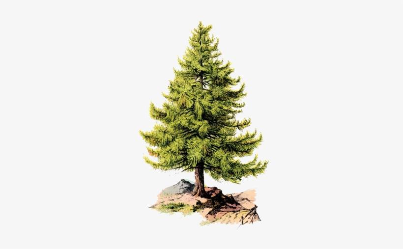Pine Tree - Pine Tree Illustration Vintage, transparent png #337396