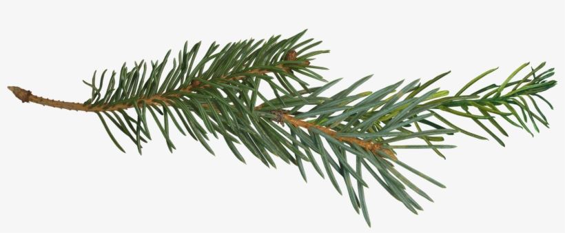 Pine Yahoo Image Search Results Projects To - Pine Tree Branch Png, transparent png #338761