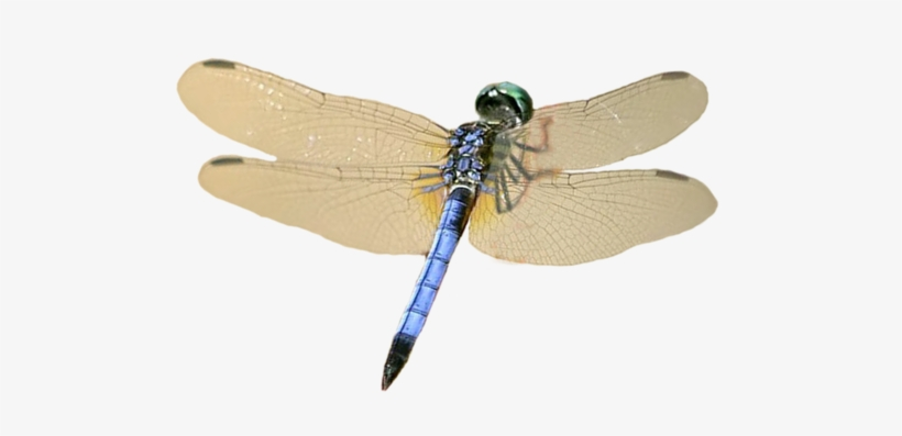 Dragonfly Wings Png For Kids Dragonfly Transparent
