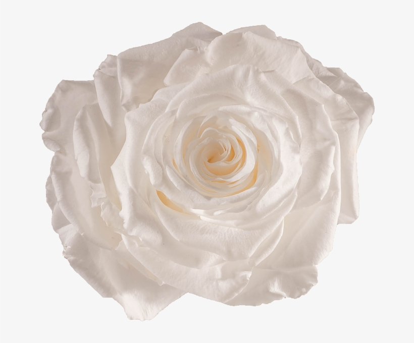Preserved Rose Pure White Rose Free Transparent Png Download