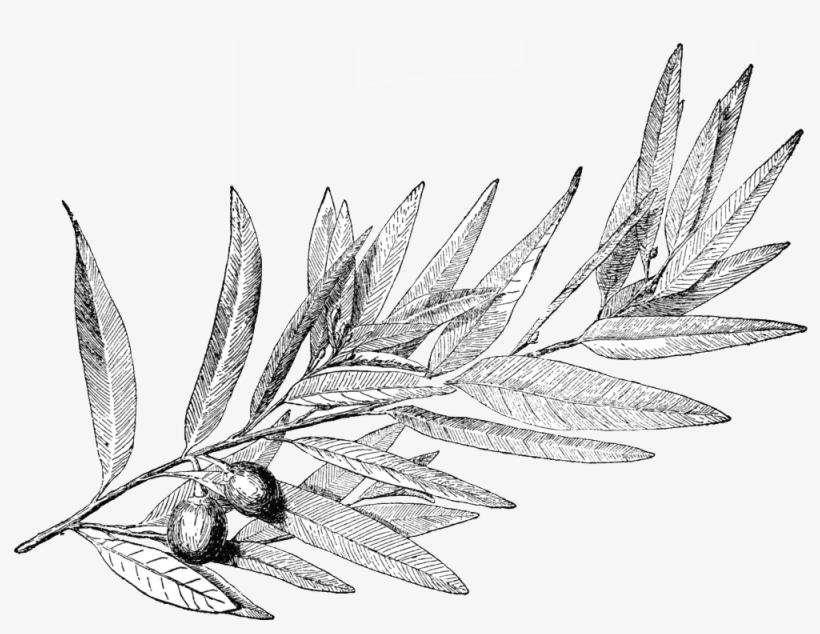 Laurel Leaves, A Symbol Of Honor In Ancient Greece - Laurel Tree Drawing, transparent png #3426489
