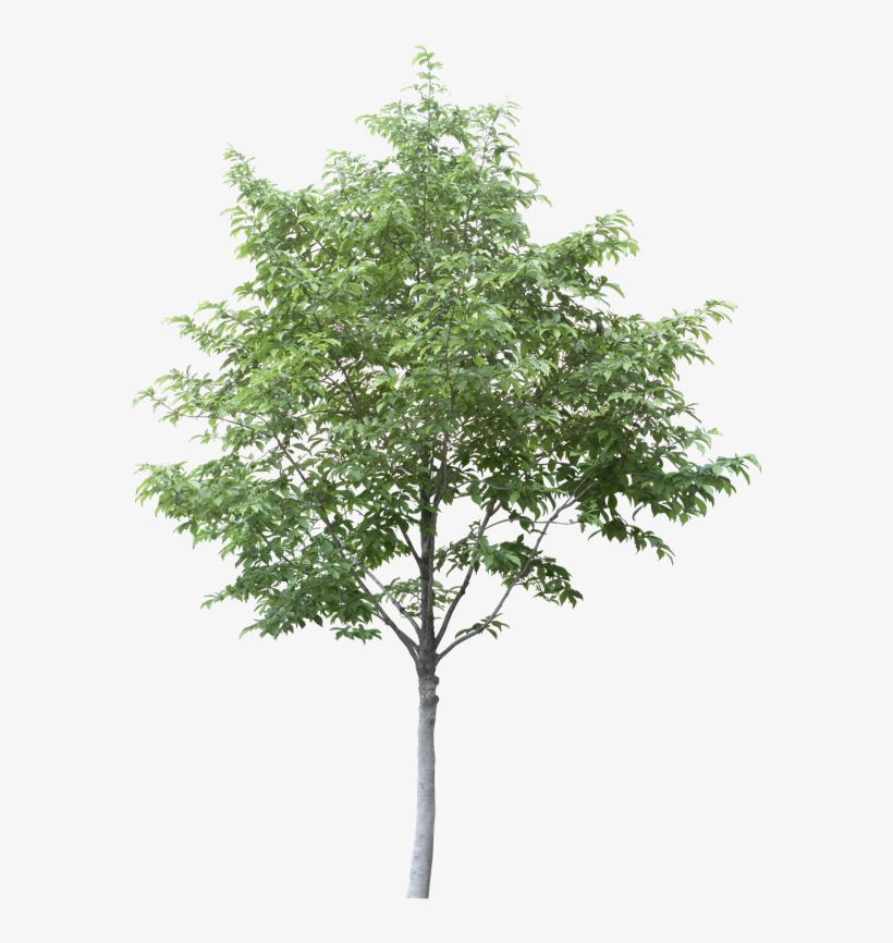 Free Arboles En Planta Png - Aspen Tree Cut Out, transparent png #3541625