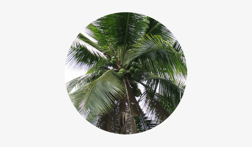 Discover The Story Of Cocozone 100% Pure Coconut Water - Desert Palm, transparent png #3591296