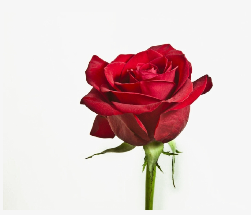 Flower Png Image With Transparent Background Red Rose Single