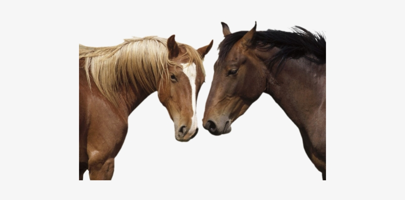 Horse Png - Horse / Pony 8 X 10 Glossy, transparent png #3624850